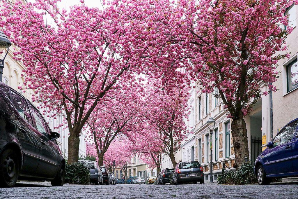 bonn-cherry-blossom-tree